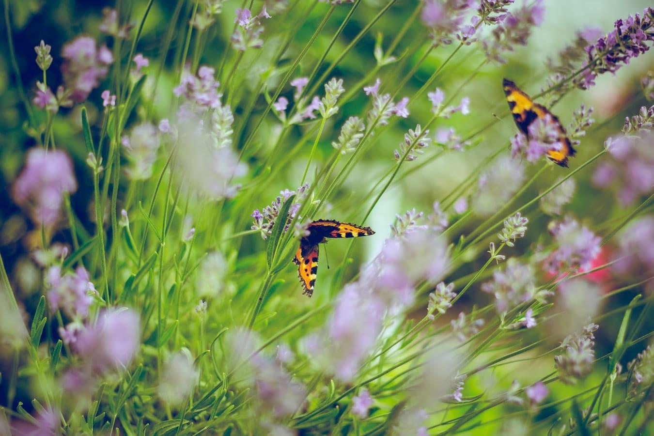 butterflies in garden